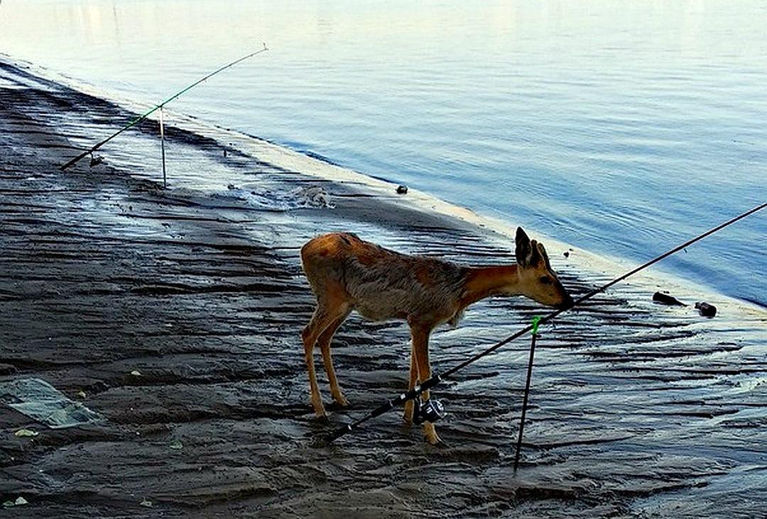 На острове Сарпинский в гости к рыбакам приходит молодая косуля
