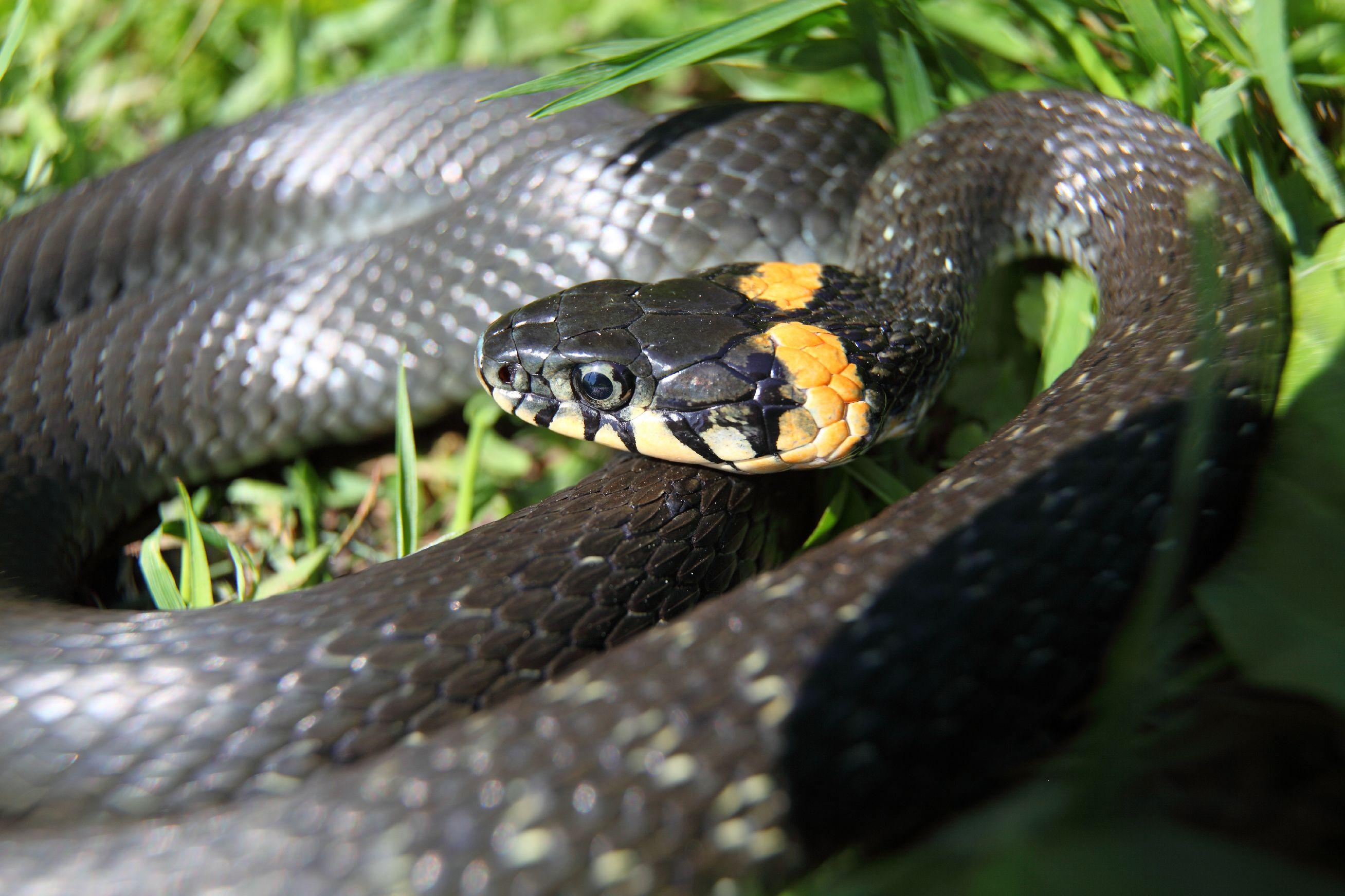 Каких змей и где можно встретить на территории РФ? Инфографика