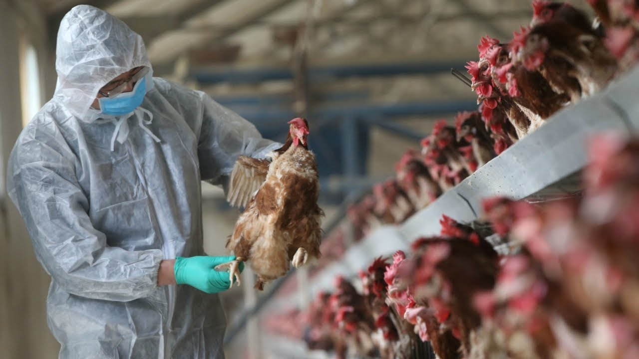 Может ли птичий грипп быть биологическим оружием?