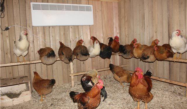 Почему стоит выбрать напольное содержание кур несушек в домашних условиях?